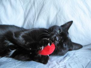 マタタビおもちゃと猫ノア