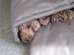 トイプーちゃんとお布団ベッド キャットレット
